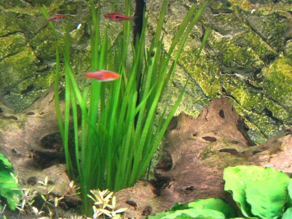 """Vallisneria sp. """"Natans"""" direkt nach dem Einpflanzen"""