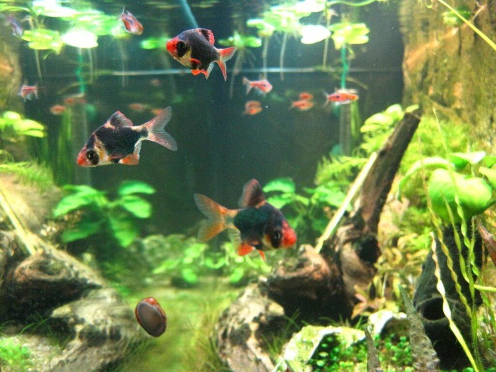 Moosbarbe an der Aquariumscheibe