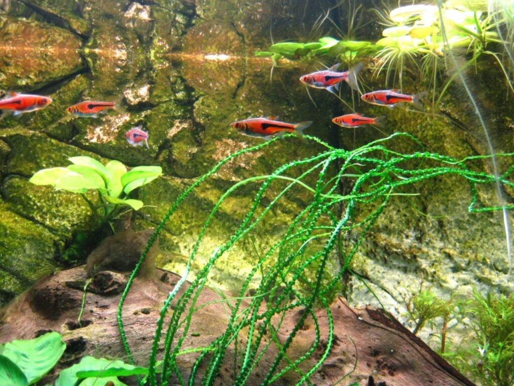 Bärblinge wie diese roten Keilfleckbarben sind auch für Anfänger beliebte Zierfische.