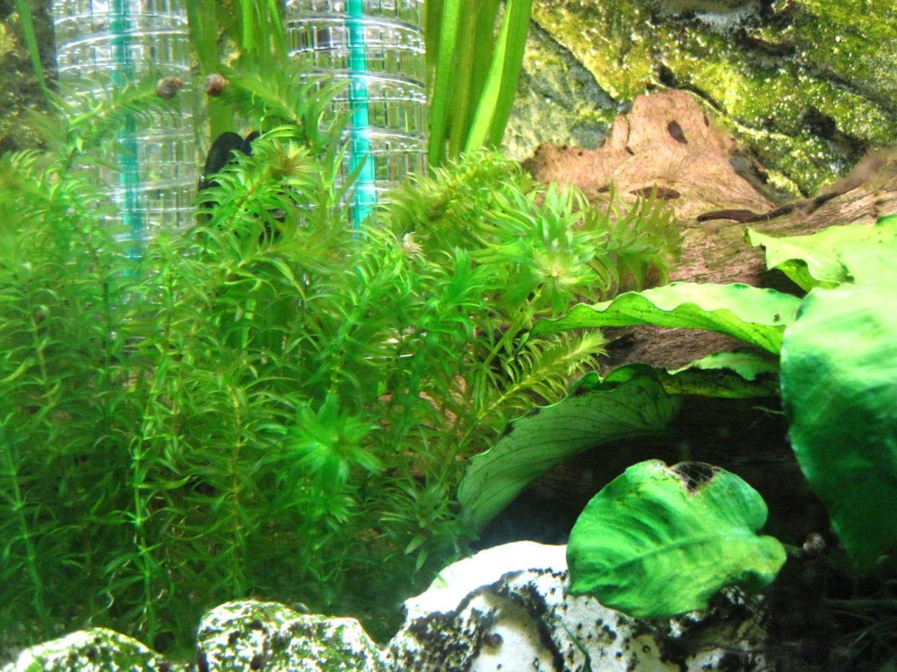 egeria densa dichtbl ttrige wasserpest aquarium welt. Black Bedroom Furniture Sets. Home Design Ideas