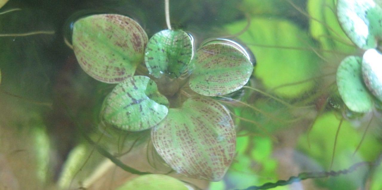 Limnobium laevigatum – Südamerikanischer Froschbiss