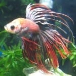 Betta splendens | Siamesischer Kampffisch