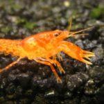 CPO | Der Orange Zwergkrebs im Aqurium