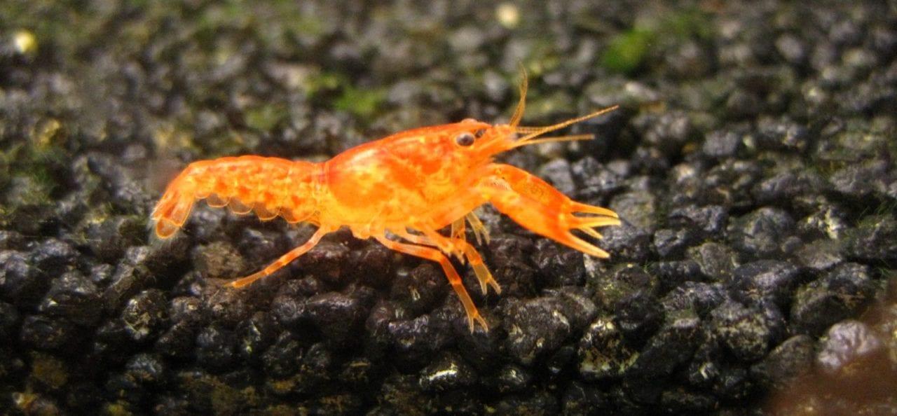 Oranger Zwergkrebs | Cambarellus patzcuarensis (CPO)