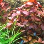 """Ludwigia repens 'rubin' entwickelt eine kräftige rote Farbe. Durch die Düngung mit """"System"""" wächst sie sehr schnell und hat einen besonders robusten Stängel."""