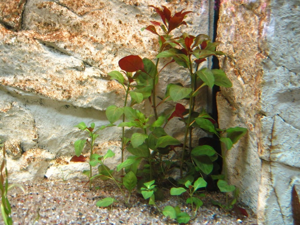 Direkt nach dem Einpflanzen ist Ludwigia repens 'rubin' noch grün und teilweise sehr zart.