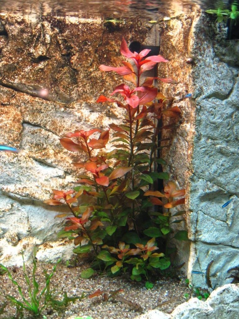 Drei Wochen nach der Pflanzung ist die rote Farbe schon deutlich erkennbar.