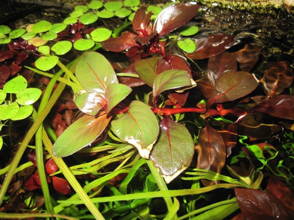 Ludwigia repens 'Rubin' macht nicht Halt vor der Wasseroberfläche. Über der Oberfläche können sich die Blätter zurück ins Grün verfärben.