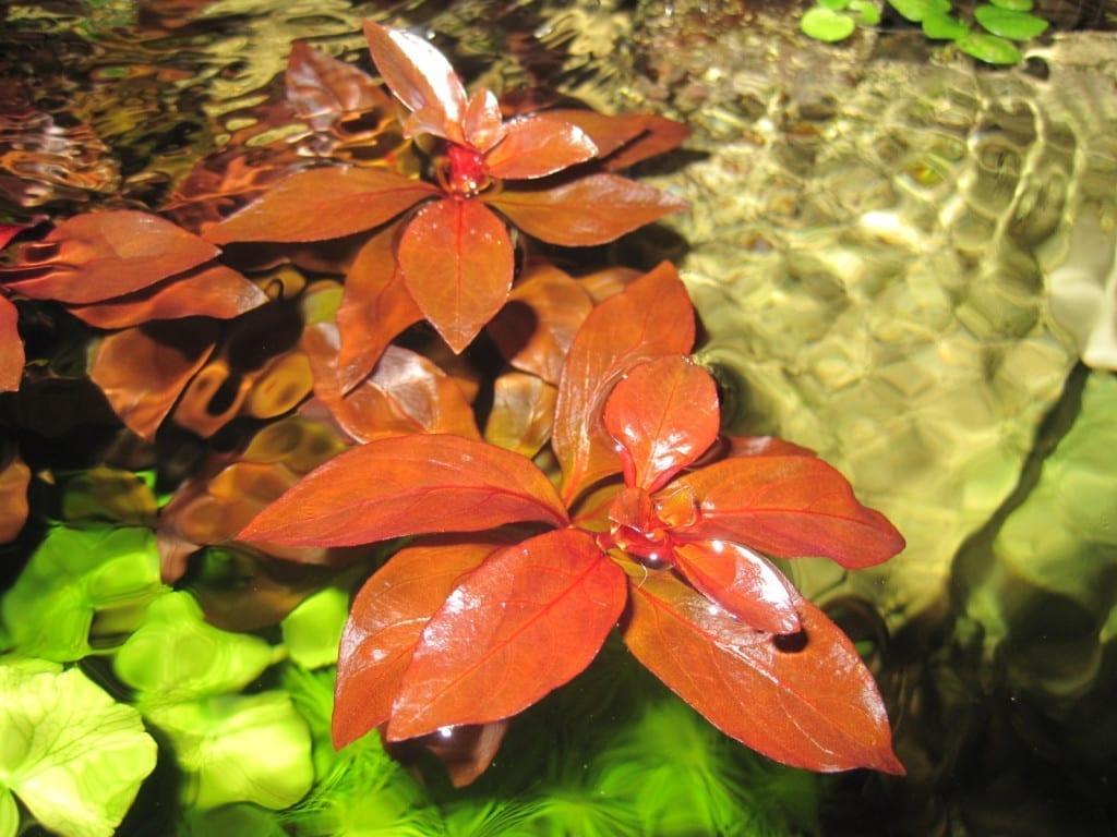 Ludwigia repens 'Rubin' macht nicht Halt vor der Wasseroberfläche.