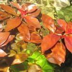 Ludwigia repens 'rubin' | Pflanzenportrait