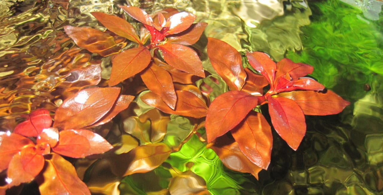 ludwigia repens 39 rubin 39 pflanzenportrait aquarium welt. Black Bedroom Furniture Sets. Home Design Ideas