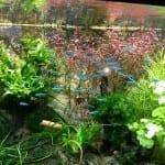 Blauer Neon - Paracheirodon simulans | Pflege und Wasserwerte