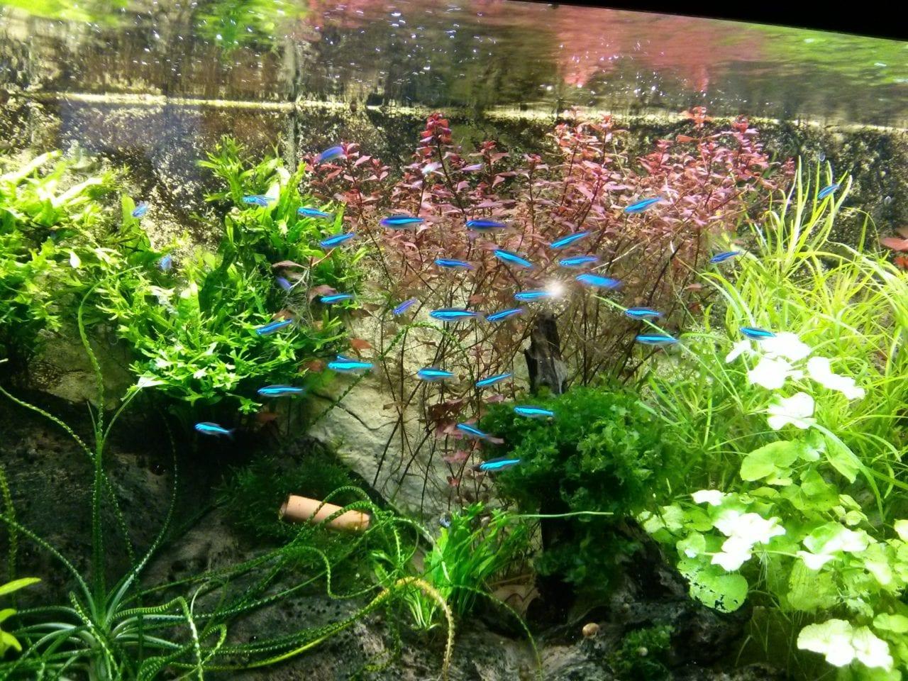 Blauer Neon – Paracheirodon simulans | Pflege und Wasserwerte