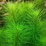 Pogostemon erectus | Indische Sternpflanze