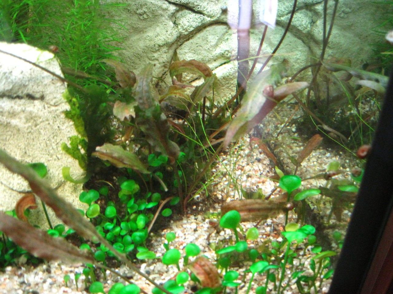 Cryptocoryenfäule betrifft den gesamten Bestand von Wasserkelchen im Aquarium.