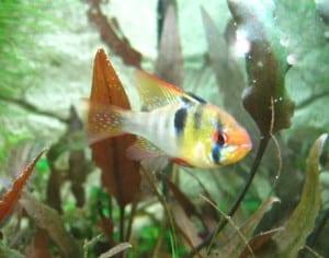 Auch das Männchen der Südamerikanischen Schmetterlingsbuntbarsche ist prächtig gefärbt.