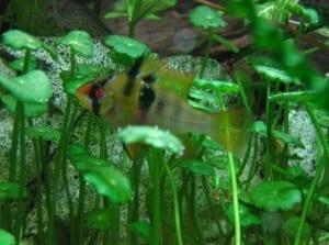 Das Weibchen der Südamerikanischen Schmetterlingsbuntbarsche erkennt man am roten Bauch und der nicht so spitzen Dorsale.