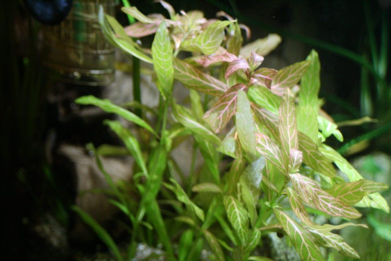 Hygrophila polysperma | Indischer Wasserfreund