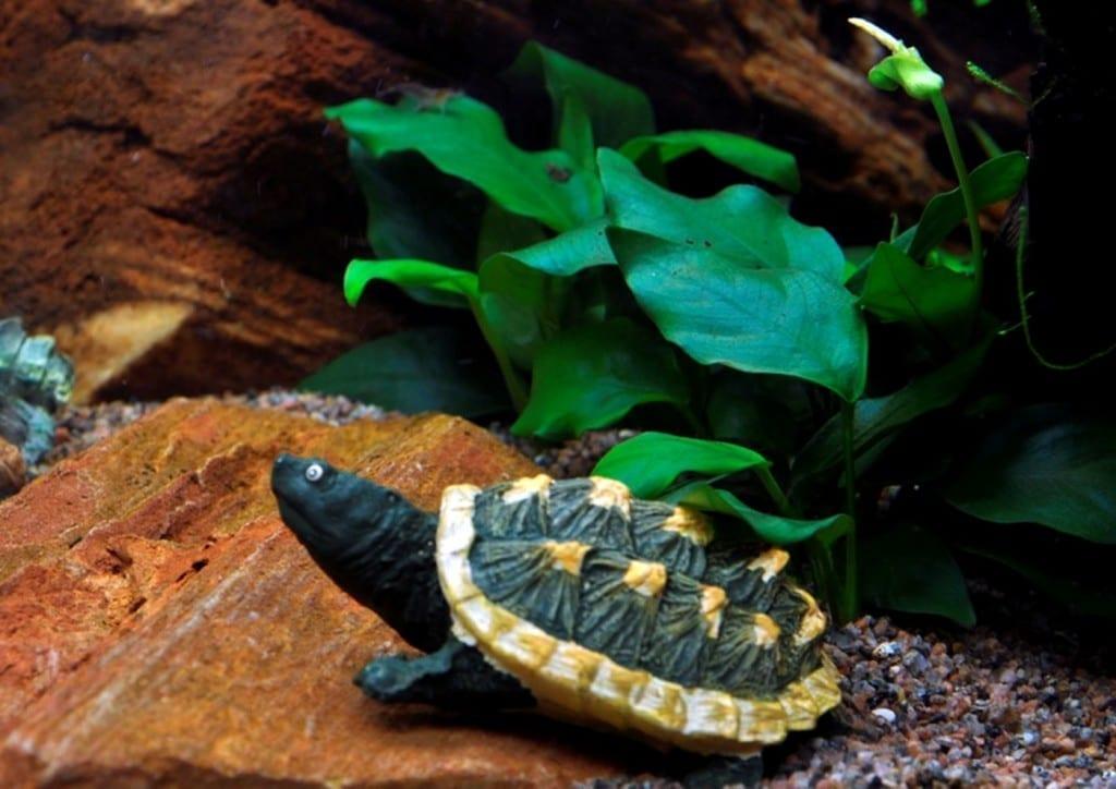 Dekoelemente wie diese Schildkröte gehören zu einem kindgerechten Aquarium dazu. Diese hier habe ich ein einem Einrichtungsbeispiel von tropica gefunden: http://tropica.com/de/beispiele/layout/Layout4/4813