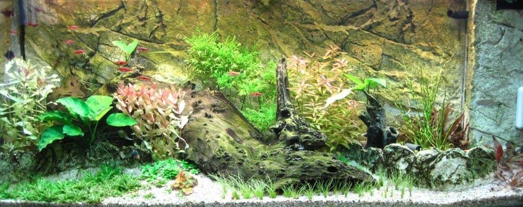 Dieses frühe Bild meines Aquariums zeigt meine große Mpaniwurzel noch unbewachsen. Mopaniwurzeln sind ein sehr schönes Hardscape Element für Süßwasseraquarien.