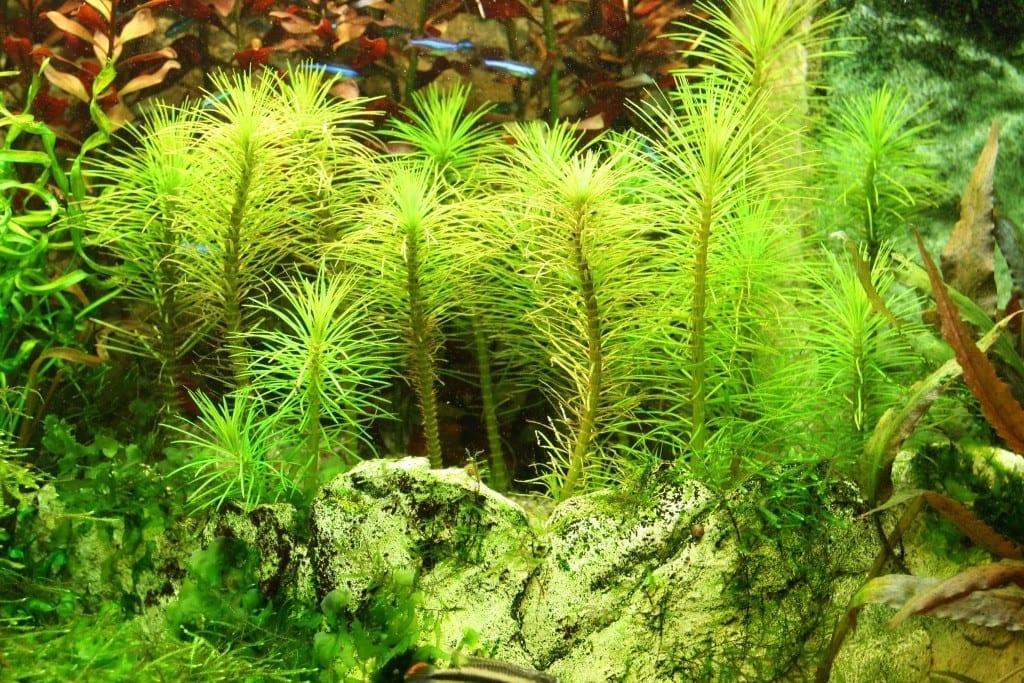 Ein Pogostemon erectus zeigt Anzeichen einer Vergeilung. Grund hierfür war eine zu dichte Schwimmpflanzen-Decke und damit eine zu stark reduzierte Lichtmenge.