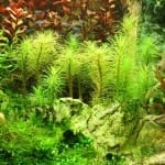 Geil, geiler, geilen! | Vergeilung bei Wasserpflanzen