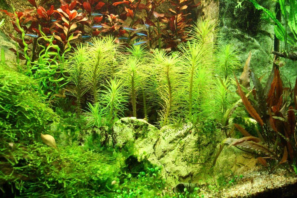 Infolge einer dichten Schwimmpflanzendecke war die Lichtmenge für diesen Pogostemon erectus nicht ausreichend. Es sind bereits Anzeichen der Vergeilung zu erkennen.