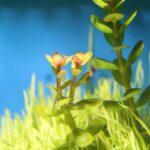 Rotala bonsai | Ein Blickfang für den Mittelgrund