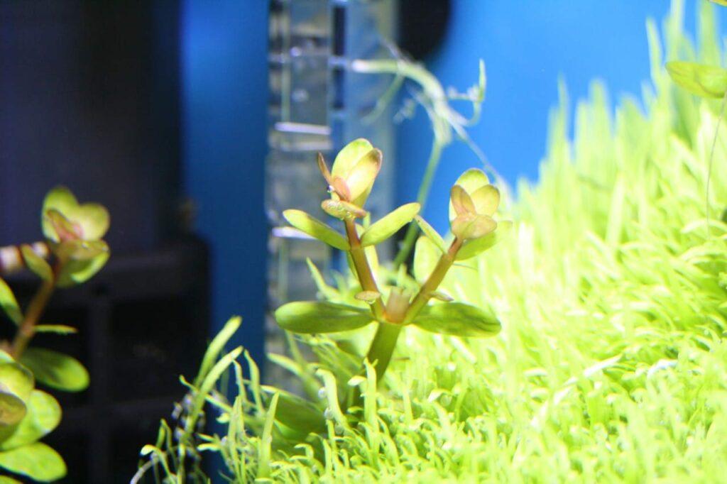 Rotala Bonsai unter starker LED-Beleuchtung und guter Düngesituation. Weiches Wasser scheint von Vorteil zu sein.
