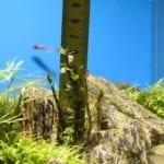 Die Höhe der Rotala beträgt etwa sechs Zentimeter.