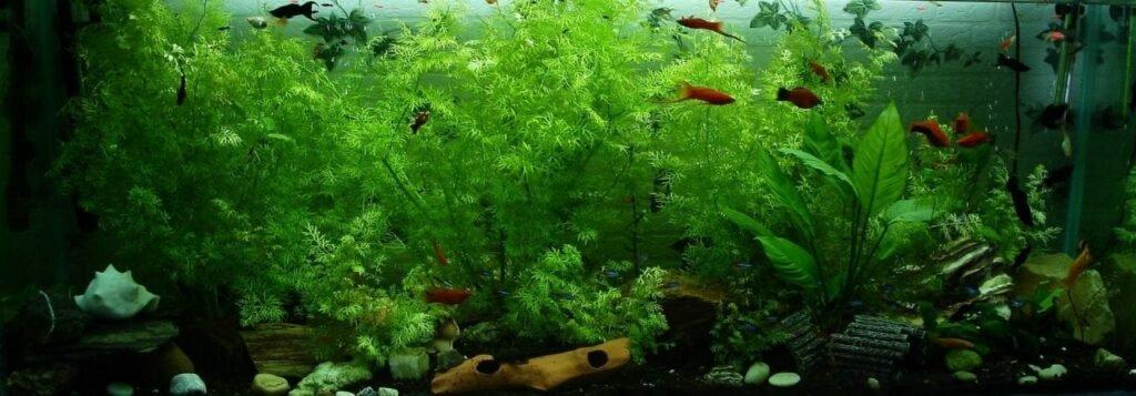 Guppys und Platys sind relativ anspruchslose Fische und eignen sich gut für den Einstieg in die Aquaristik. Ein Beckenvolumen von 54 Litern ist durchaus ausreichend. Schnell wachsende Pflanzen sorgen nicht nur für ein schönes Bild. Da sie die Wasserwerte stabilisieren sorgen sie auch für ein stabiles Ökosystem und sollten auch von Anfängern unbedingt eingesetzt werden.