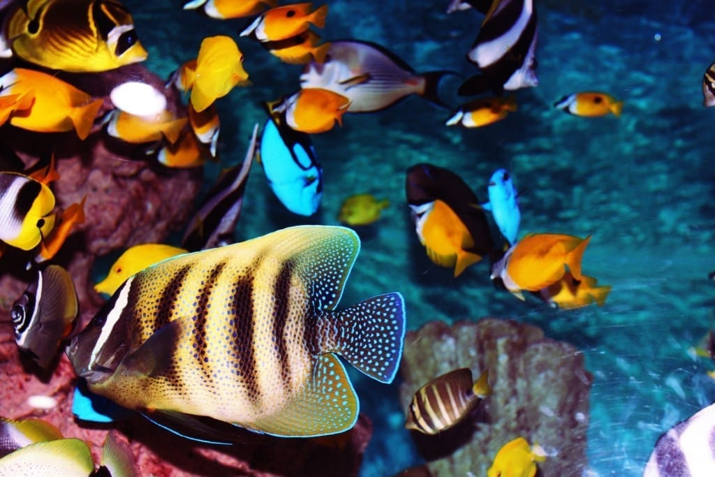 Meerwasserfische wie diese benötigen ein großes Aquarium mit einer ausgefeilten Technik und sind daher nur für gut eingelesene Anfänger geeignet.