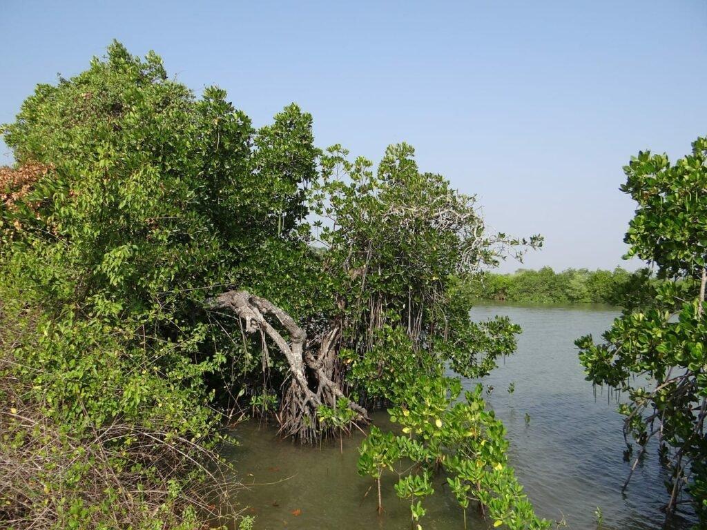 Mangroven am Flussüfer. Beliebtes Vorbild in der Biotop Aquaristik