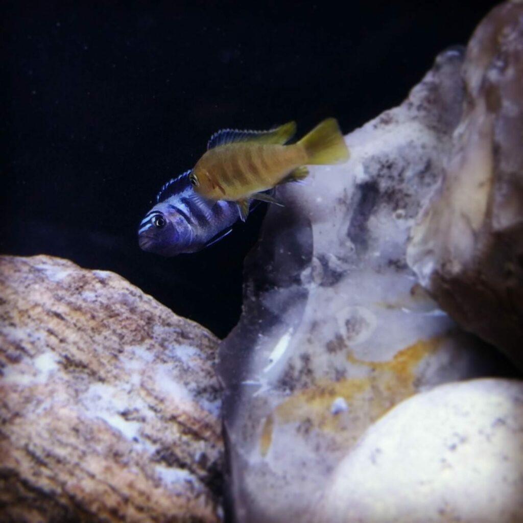 Buntbarsche aus dem Malawisee sind aufgrund ihrer Farbenpracht beliebte Zierfische. Bei Pseudotropheus saulosi bleibt das Weibchen gelb während sich das Männchen blau färbt.
