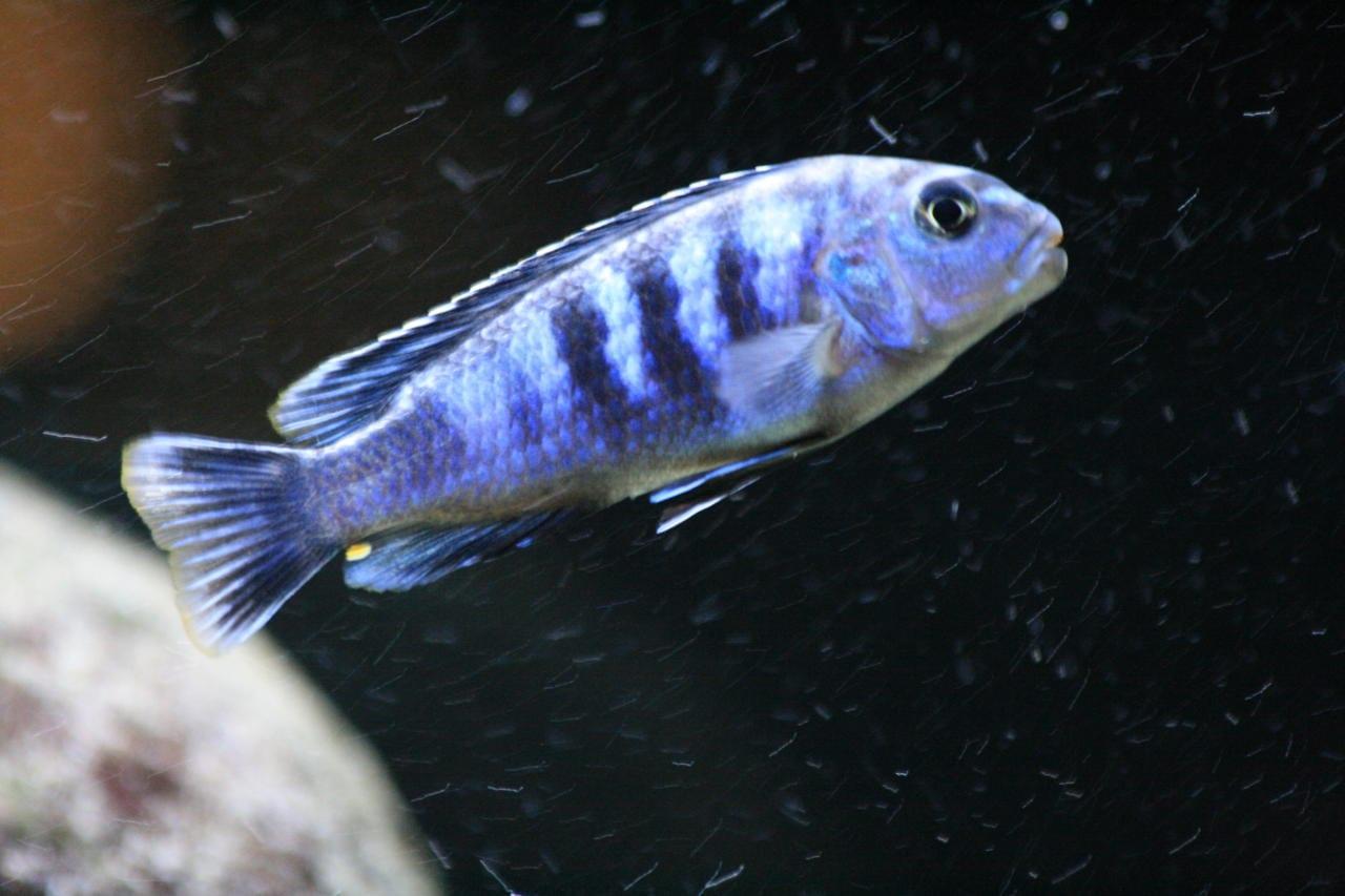 Ein ausgewachsenes Chindongo saulosi Männchen.