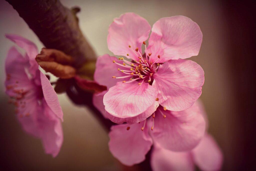 Kirschblüte als Namansgeber für die Red Sakura Garnele