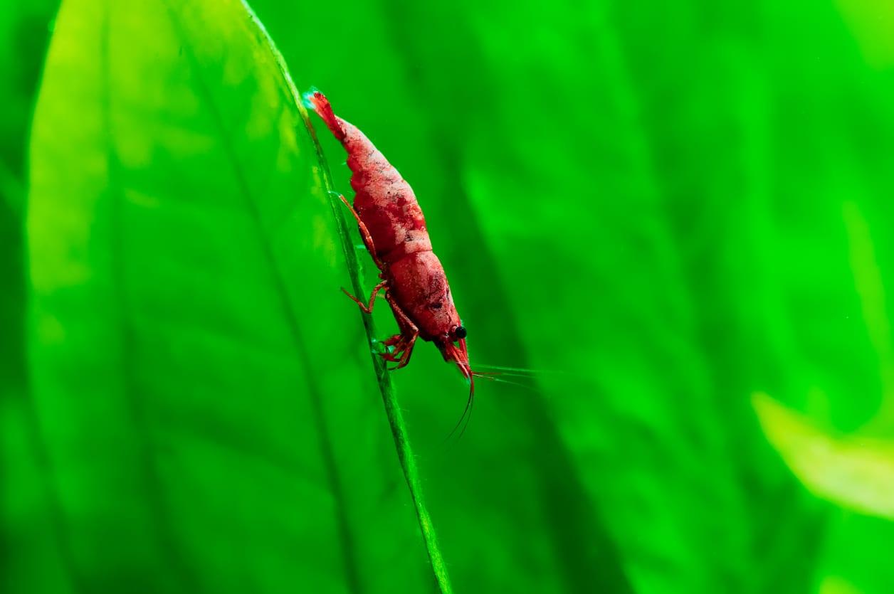 Red-Sakura-Garnele auf einem Blatt