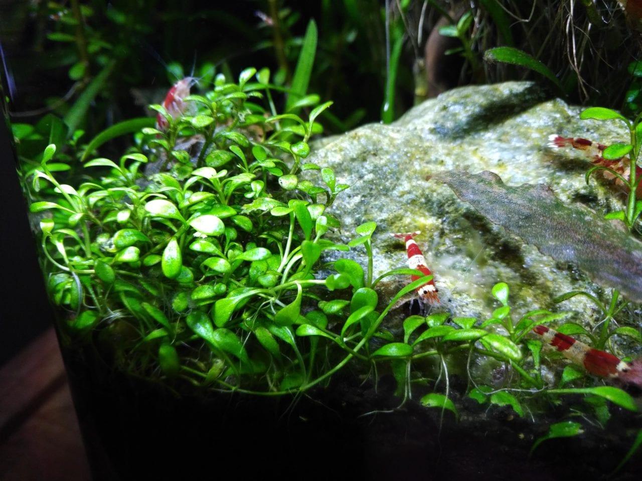 Hemianthus callitrichoides im Vordergrund eines Nano Aquariums
