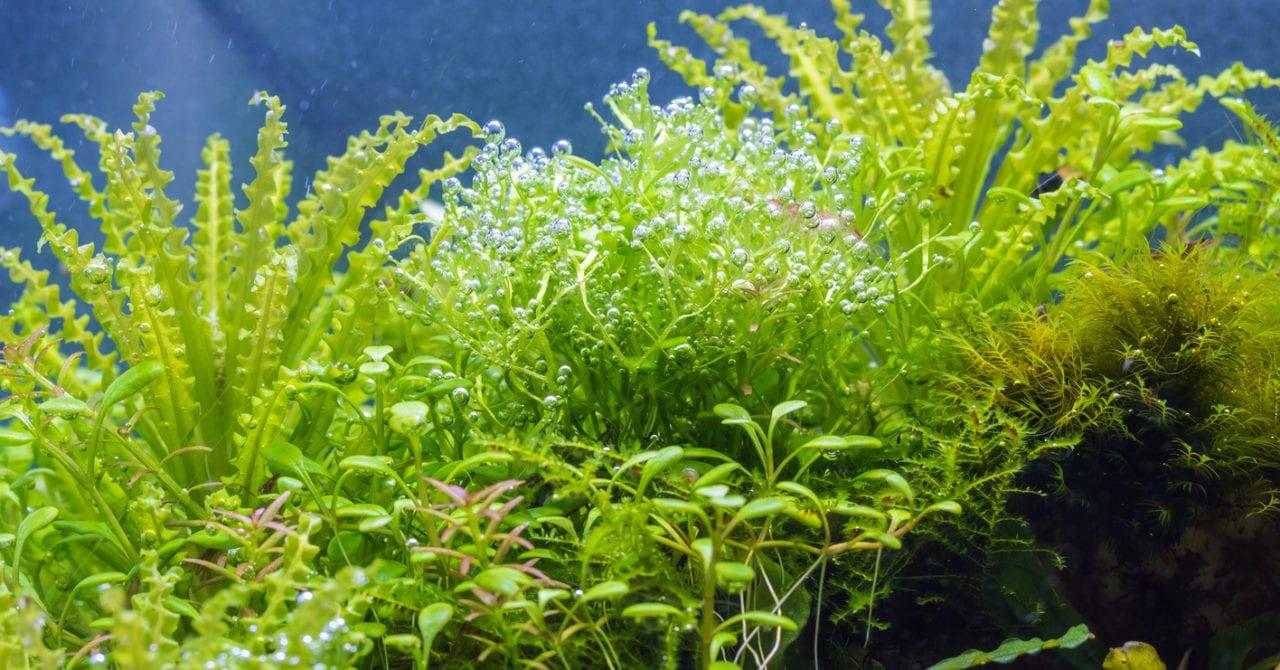 Riccia zwischen anderen Pflanzen