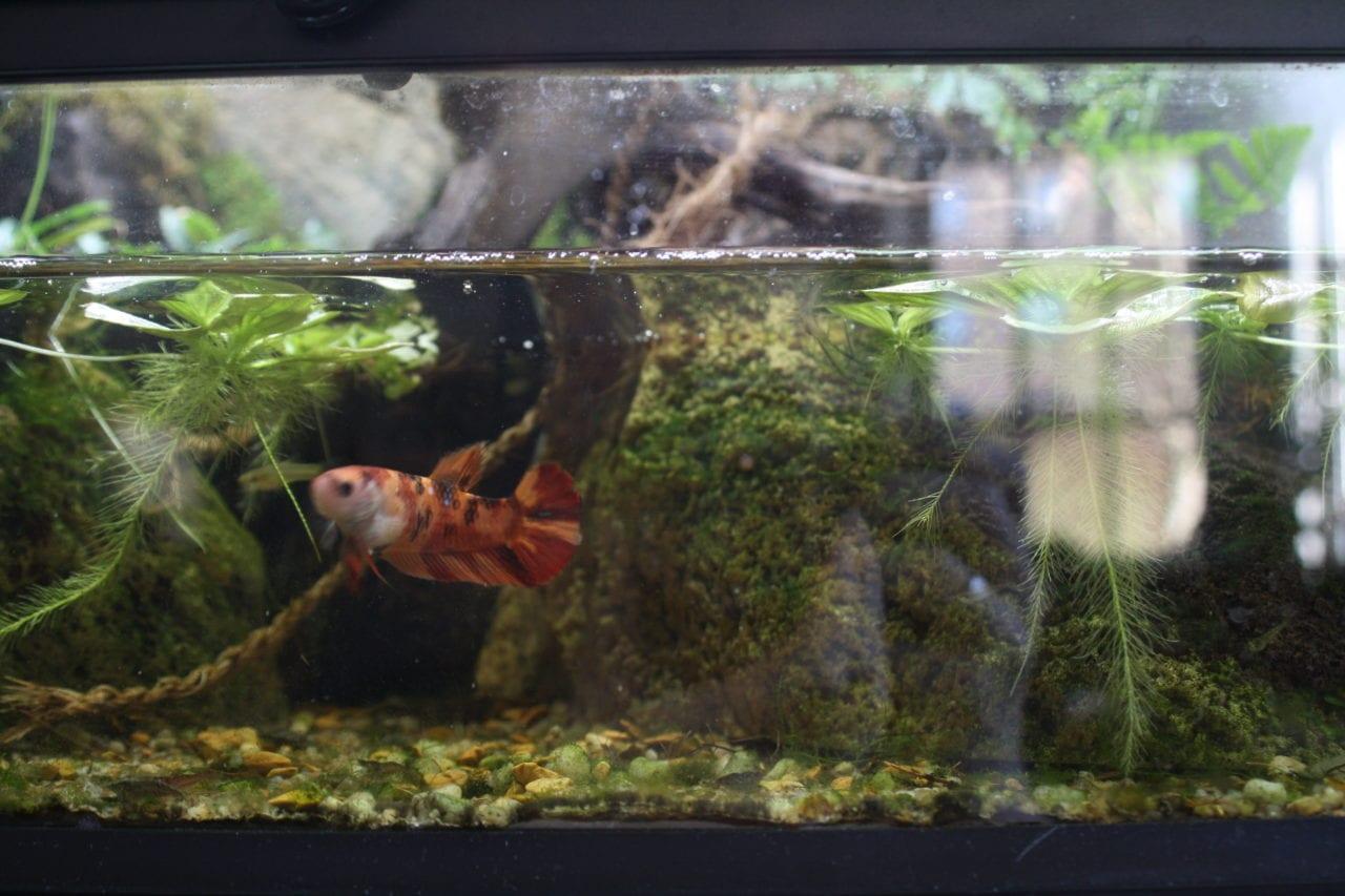 Kampffisch im Paludarium