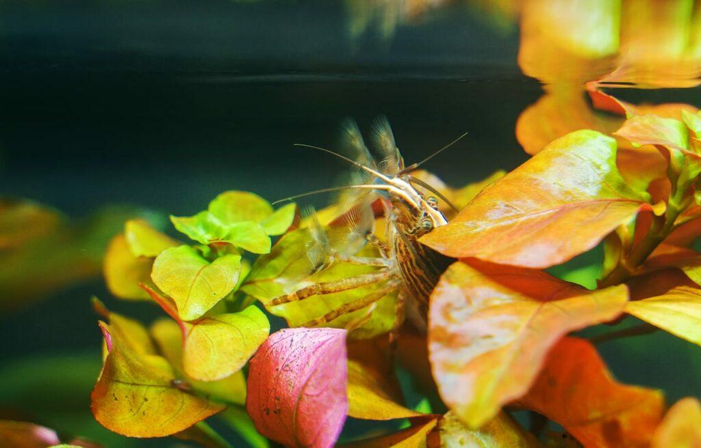 Molukkenfächergarnele in Pflanze