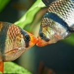 Zwei Sumatrabarbeb Maul an Maul