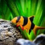 Die Prachtschmerle – verkannter Charakterfisch aus Südostasien