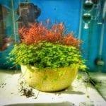 Eine bepflanzte Schale in einem Nano Aquarium